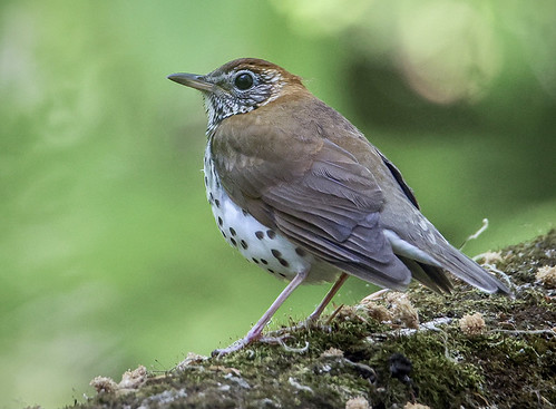 Wood Thrush - Four Mile Creek - @ Suzie Webster - May 18, 2021
