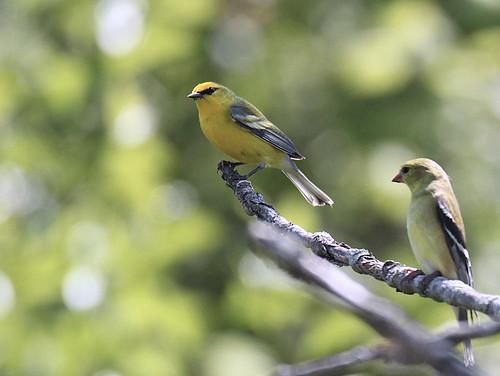 Blue-winged Warbler - Oatka Creek Park - @ Rosemary Reilly - May 19, 2021