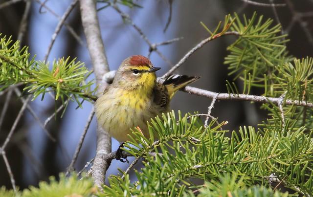 Palm Warbler / Paruline à couronne rousse (Richard)