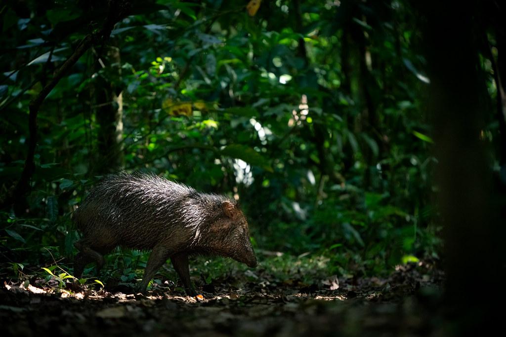 pig_new7-