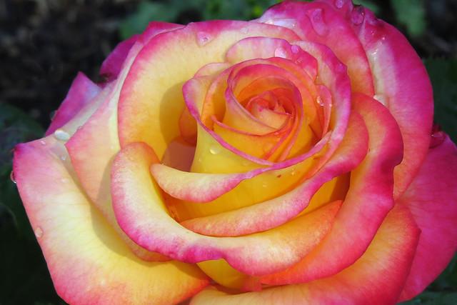 Dream Come True rose in Golden Gate Park's Rose Garden San Francisco 170616-111309 ce50 C4