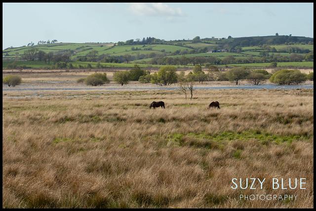 Horses on the bog