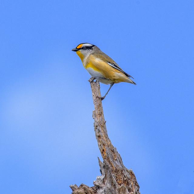 small bird series: a striated pardalote