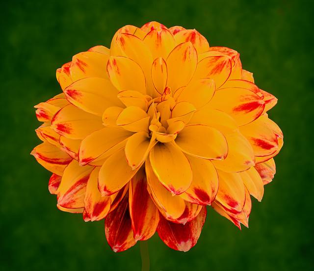 An orange garden dahlia