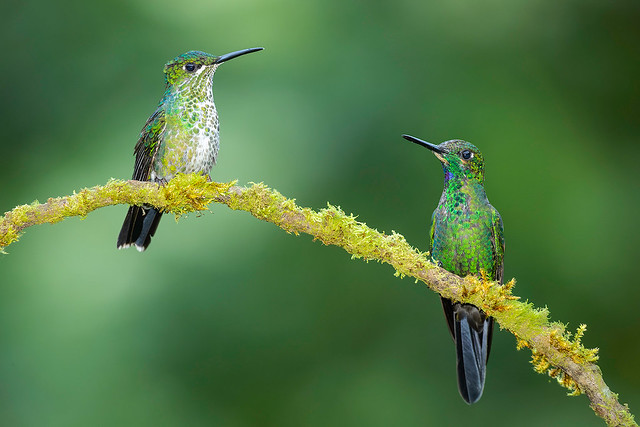 Green-crowned Brilliants