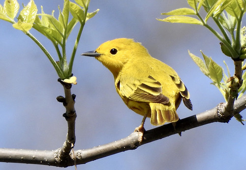 Yellow Warbler - Braddock Bay West Spit - @ Candace Giles - May 18, 2021