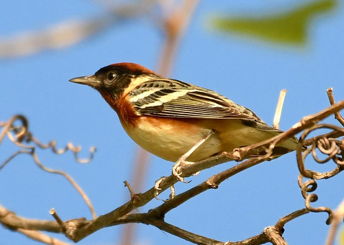 Bay-breasted Warbler - Firehouse Woods - @ Alan Bloom - May 18, 2021