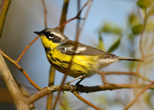 Magnolia Warbler - Firehouse Woods - @ Alan Bloom - May 18, 2021