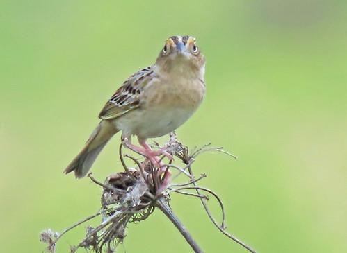 Grasshopper Sparrow - Rush - @ Ann McMican - May 20, 2021