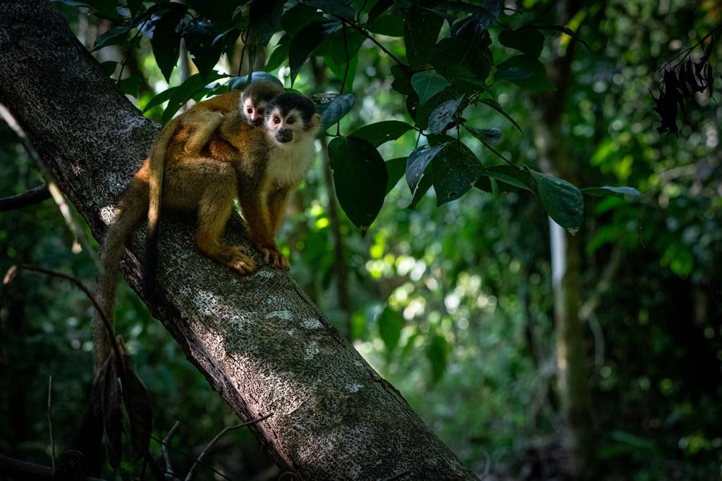 squirrelmonkey_new2-