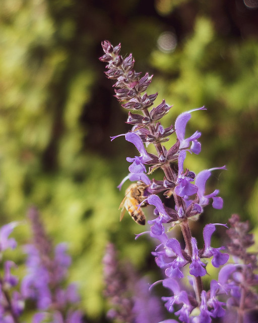 Honeybee on Prairie Sage