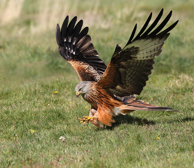 Red Kite - zeroing in on a snack!