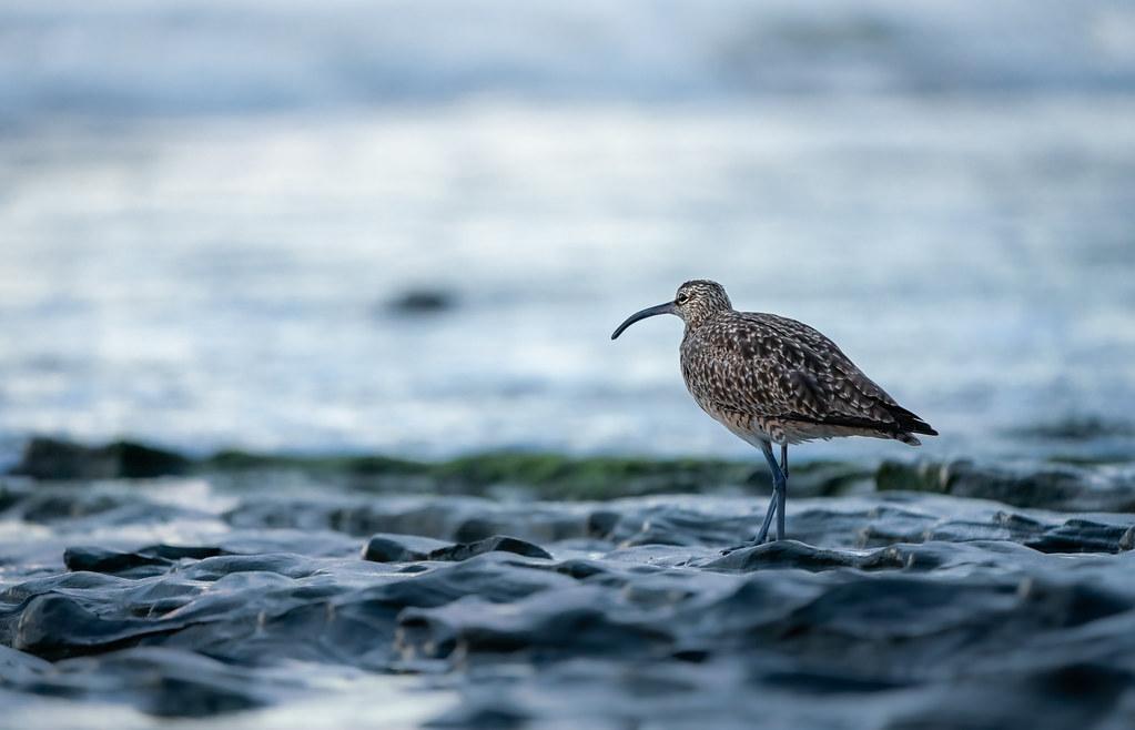 shorebird_new1-2