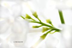 Lilac Stems 3770