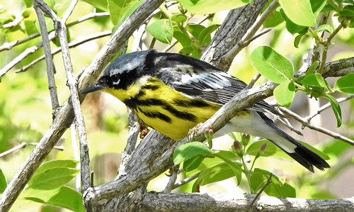 Magnolia Warbler - Braddock Bay West Spit - @ Candace Giles - May 18, 2021