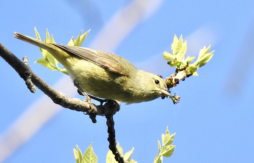 Orange-crowned Warbler - Manitou Beach Preserve - @ Candace Giles - May 18, 2021