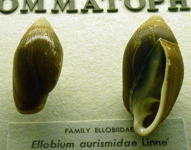 Ellobium aurismidae 51196458692_ed9456e92e_o