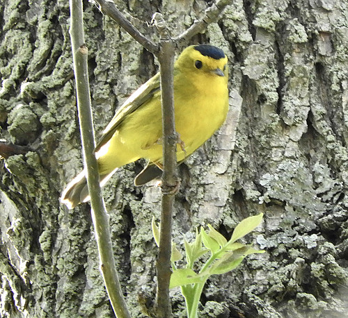 Wilson's Warbler - Firehouse Woods - @ Eunice Thein - May 20, 2021