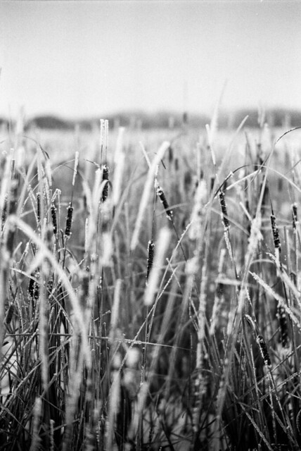 Cattails in the Field