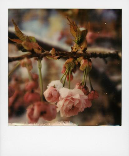 Cerisier du Japon sous la neige ...