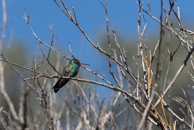 Early February; first day the male broad-billed showed up to check out the neighborhood