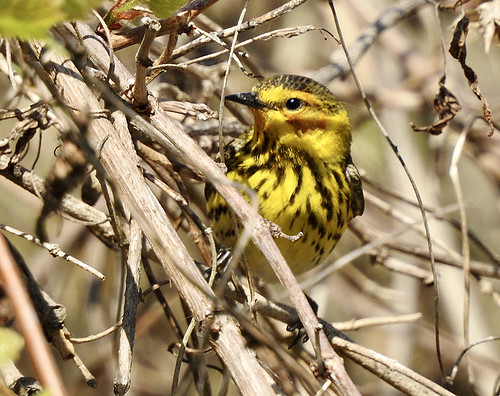 Cape May Warbler - Braddock Bay West Spit - @ Candace Giles - May 18, 2021