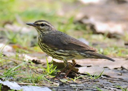 Northern Waterthrush - Lakeview Community Church Trail - @ Alan Bloom - May 18, 2021