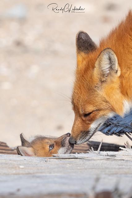 Red Fox | Vulpes Vulpes | 2021 - 23