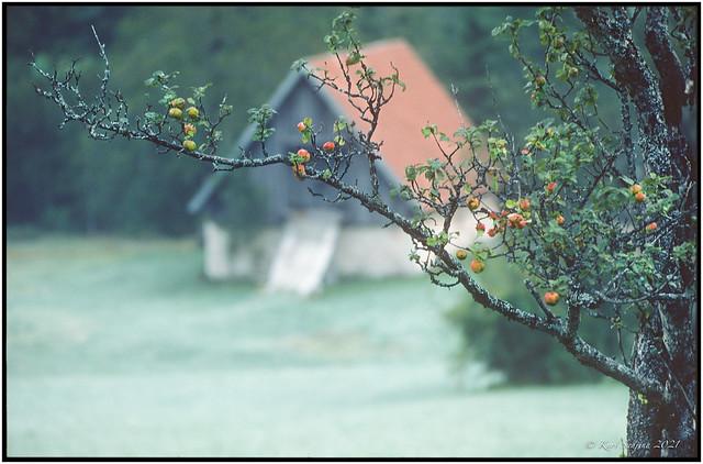 Autumn Apples_1986_Leica R4