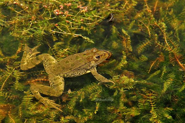 La grenouille, heureuse dans sa mare ...