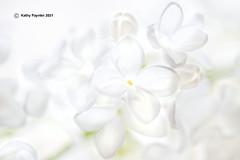 Lilac 3782