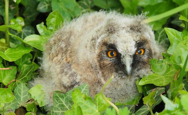 Die Waldohreule - Asio otus  Long-eared owl Eulenküken young owl