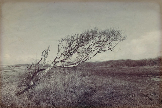 shaped by the wind - the lonely birch