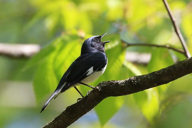 Black-throated Blue Warbler / Paruline bleue ( Diane )