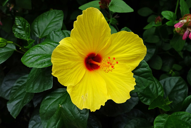 Hibiscus inside the Conservatory at Longwood Gardens in Kennett Square, PA