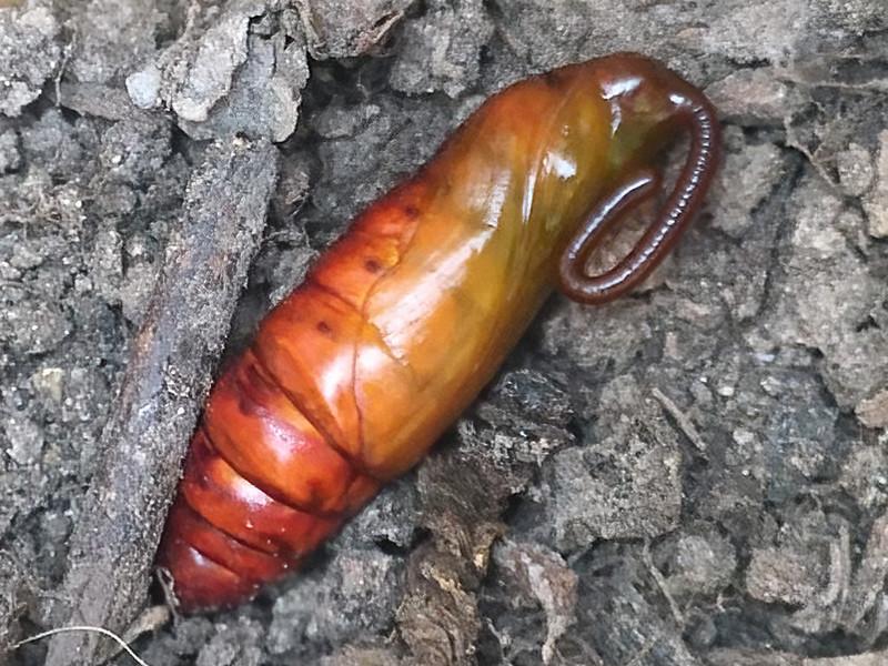 8 - Convolvulus Moth Agrius convolvuli 1 RES Br P