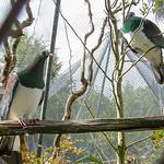 Kererū (NZ wood pigeon)