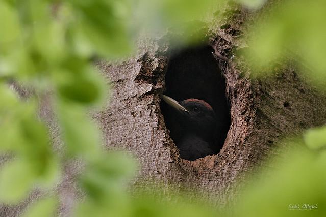 Black woodpecker, datel černý, CZE, 2021