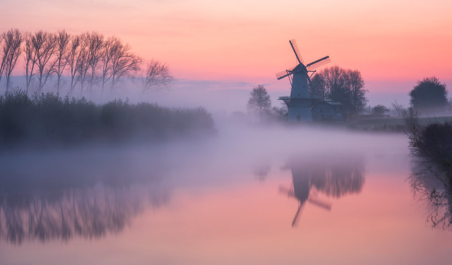 Dutch morning glory