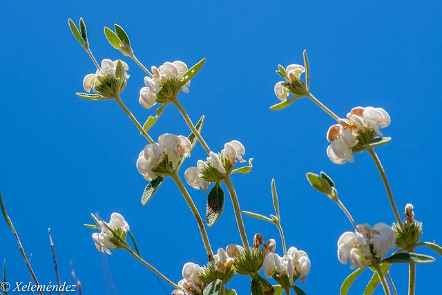 Phlomis purpurea alba subsp. almeriensis