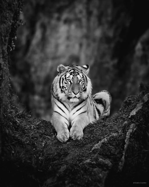 'Tigre de Bengala'