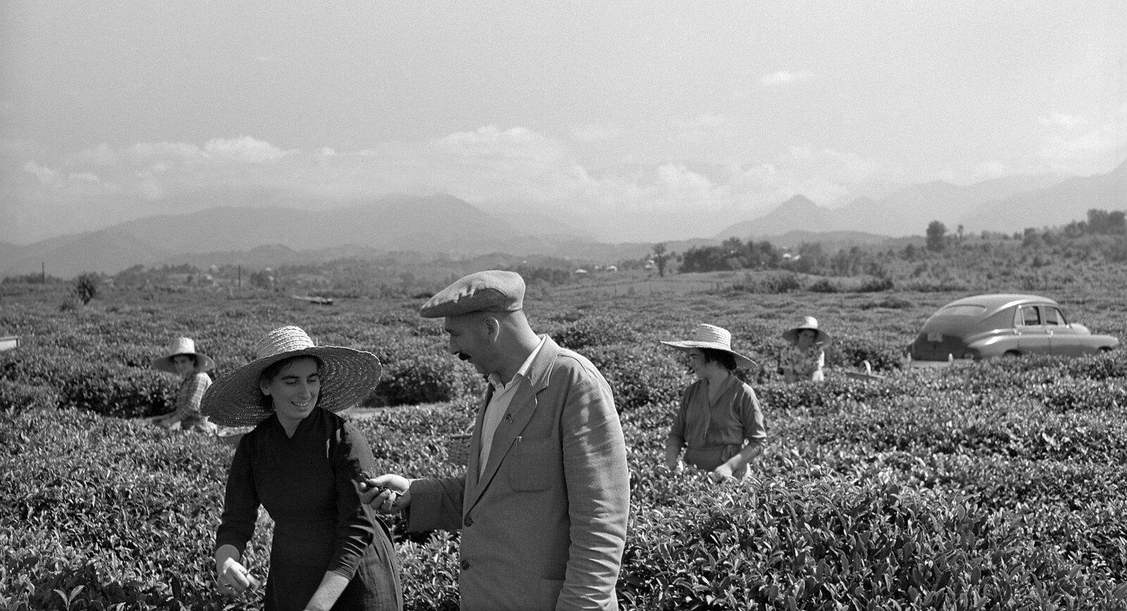 1962. «Аджария славилась чаем, собранным вручную»