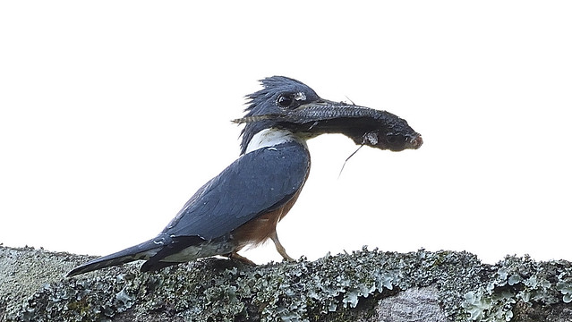Martín-pescador Grande - Megaceryle torquata