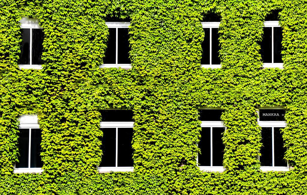 Fenster mit dreispitzige Jungfernrebe