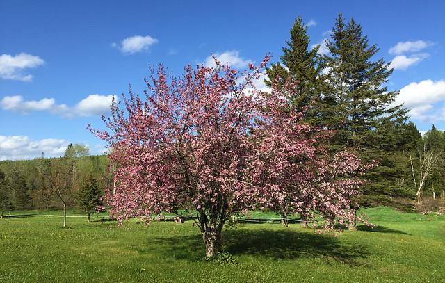 Crabapple Tree... Northern Maine
