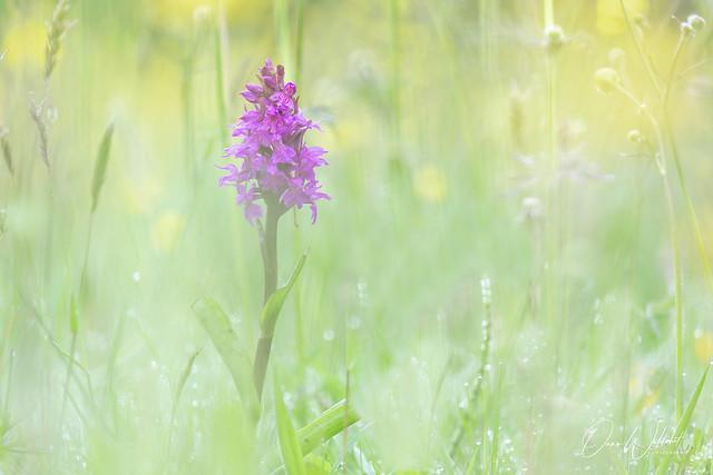 Broad-Leaved marsch orchid; Dactylorhiza majalis