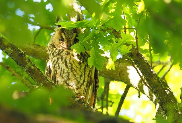 Die Waldohreule - Asio otus  Long-eared owl