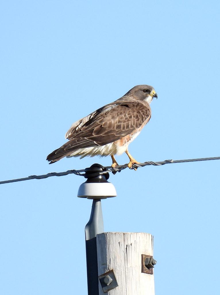 Swainson's Hawk in Full Sunlight