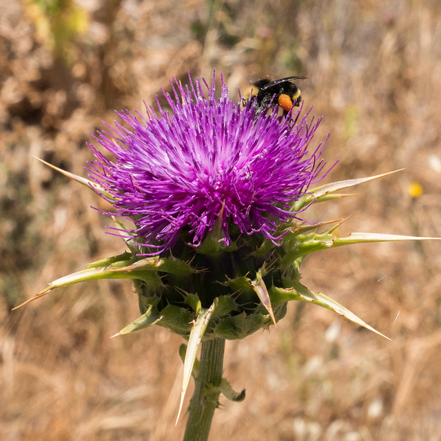 Bumblebee and Thistle square
