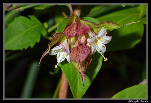 Arbre aux faisans (Leycesteria formosa)